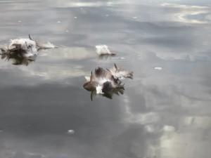 duck-rescue-4