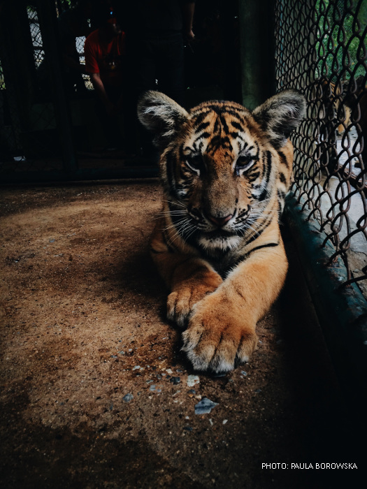 Caged tiger in zoo