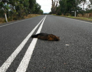Dead possum on road