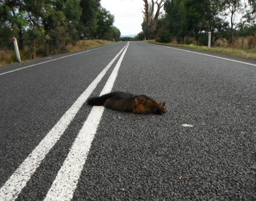 Dead possum on road